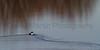 Common Goldeneye<br /> Pineridge Natural Area, Fort Collins, Colorado