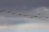 Canada Geese<br /> Larimer County, Colorado.