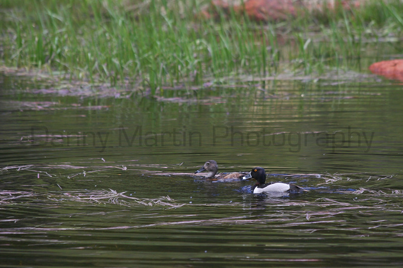 Ring-necked Duck<br /> Rocky Mountain National Park, Colorado