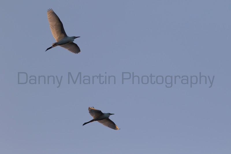 Cattle Egrets in flight, Tammany Parish, Louisiana
