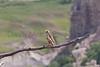 Prairie Falcon<br /> Castlewood Canyon State Park, Douglas County, Colorado.