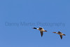 Common Mergansers<br /> Larimer County, Colorado