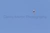 White-throated Swift in flight<br /> Santa Cruz County, Arizona
