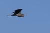 Little Blue Heron<br /> Tammany Parish, Louisiana