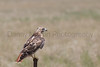 Red-tailed Hawk on fence post after eating jackrabbit prey<br /> Otero County, Colorado