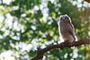 Great Horned Owl (fledgling)<br /> Bailey County, Texas.