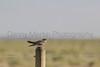 Common Nighthawk<br /> Weld County, Colorado