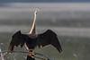 Anhinga (American Darter) basking<br /> Tammany Parish, Louisiana