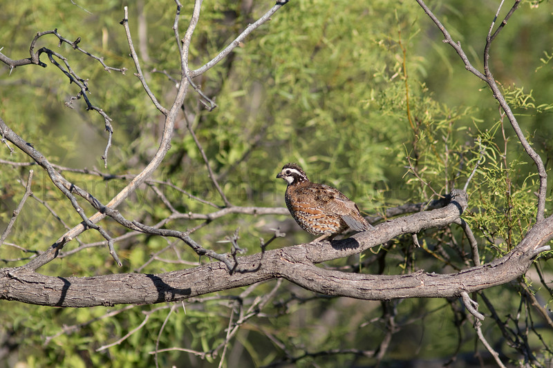 Northern Bobwhite in mesquite tree<br /> Briscoe County, Texas