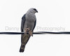 Mississippi Kite feeding on moth.  Smithville, Texas.