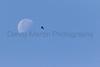 Black Vulture soaring over Patagonia Lake<br /> Santa Cruz County, Arizona