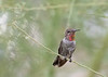 Anna's Hummingbird (subadult male) perched on palo verde<br /> Pima County, Arizona