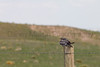 Common Nighthawk on fencepost.<br /> Pawnee National Grassland, Weld County, Colorado.