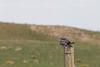 Common Nighthawk on fencepost.<br /> Pawnee National Grassland, Weld County, Colorado.