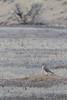 Prairie Falcon on Black-tailed Prairie Dog burrow<br /> Larimer County, Colorado