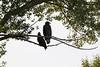Bald Eagle (subadult)<br /> Larimer County, Colorado