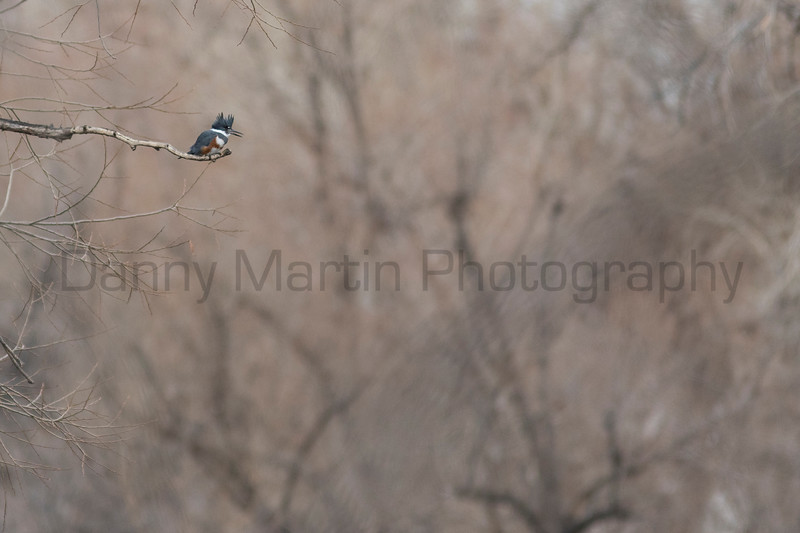 Belted Kingfisher perched<br /> Larimer County, Colorado