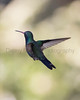 Broad-billed Hummingbird (male)<br /> Santa Cruz County, Arizona