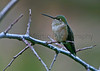 Broad-tailed Hummingbird  <br /> near Lyons, Colorado.