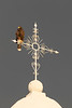 Harris's Hawk perched on church<br /> Pima County, Arizona