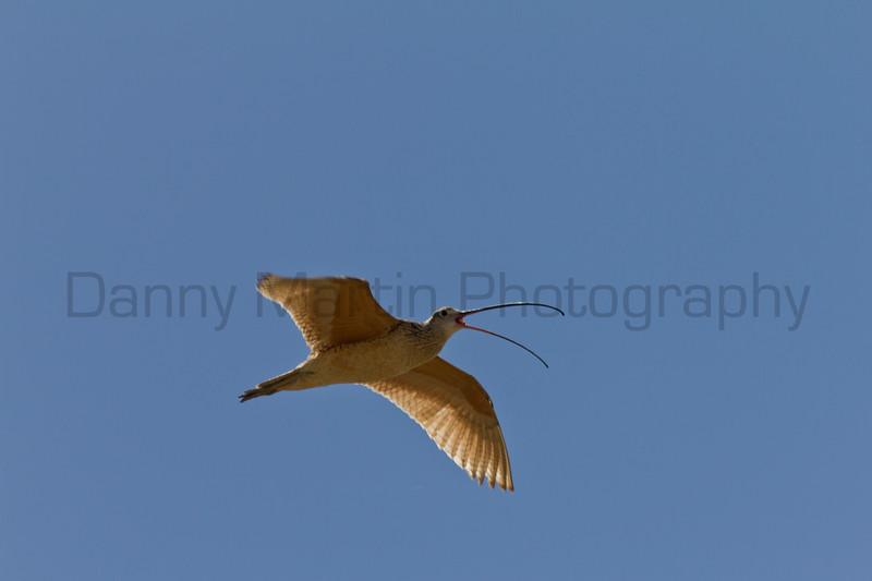 Long-billed Curlew<br /> Kiowa National Grassland, Union County, New Mexico.