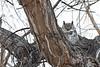 Great Horned Owl<br /> Larimer County, Colorado