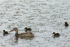 Northern Shoveler hen & ducklings<br /> Jackson County, Colorado