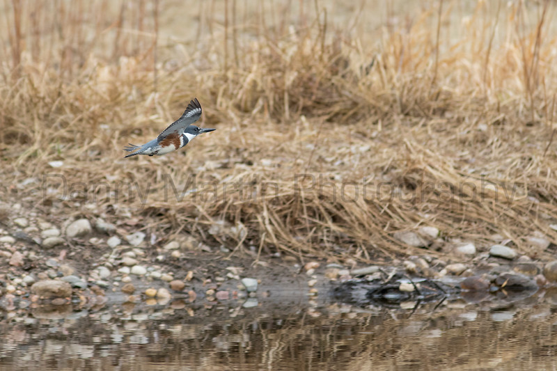 Belted Kingfisher<br /> Larimer County, Colorado