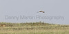 Northern Harrier<br /> Yoakum County, Texas.