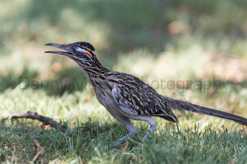 Greater Roadrunner (juvenile)<br /> Randall County, Texas