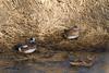 American Wigeon (drake & hen) and Mallard (hen)<br /> Larimer County, Colorado