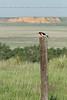 Red-headed Woodpecker<br /> Logan County, Kansas