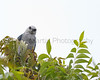 Mississippi Kite perched in tree.  Smithville, Texas.