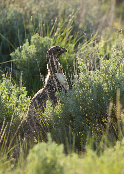 Greater Sage Grouse<br /> Jackson County, Colorado