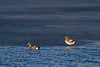 American Wigeons<br /> Larimer County, Colorado
