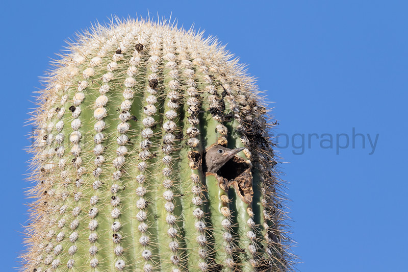 Gila Woodpecker (fledgling) in Saguaro cactus<br /> Pima County, Arizona