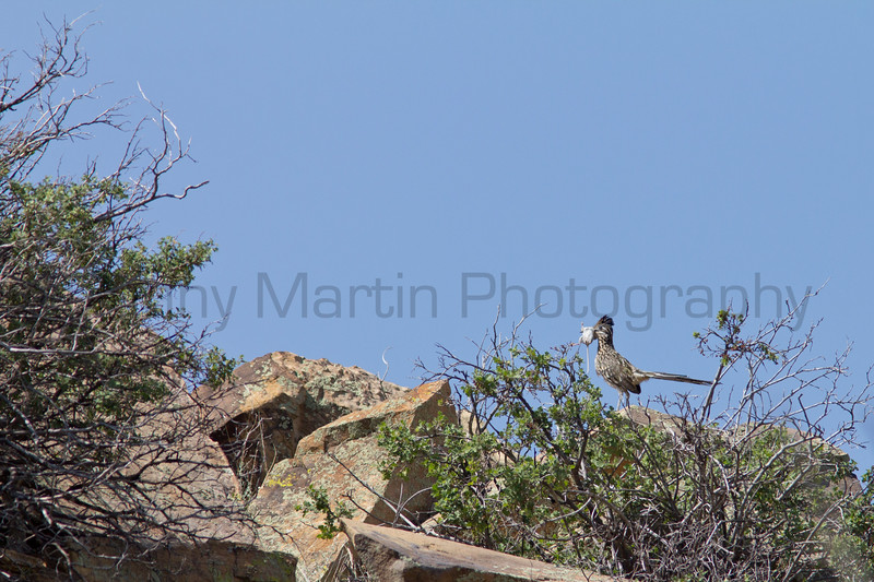 Greater Roadrunner with mouse.<br /> Cimarron County, Oklahoma.