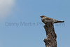 Common Nighthawk on fencepost Logan County, Kansas.