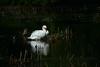 Swan.  East of Detroit, MI.
