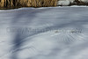 Raptor tracks in the snow<br /> Poudre River, Fort Collins, Colorado