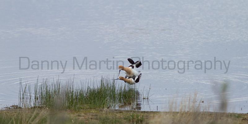 American Avocets (mating)<br /> Jackson County, Colorado.