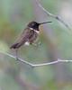 Black-chinned Hummingbird (male)<br /> Pima County, Arizona