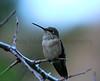 Broad-tailed Hummingbird  <br /> near Lyons, Colorado.