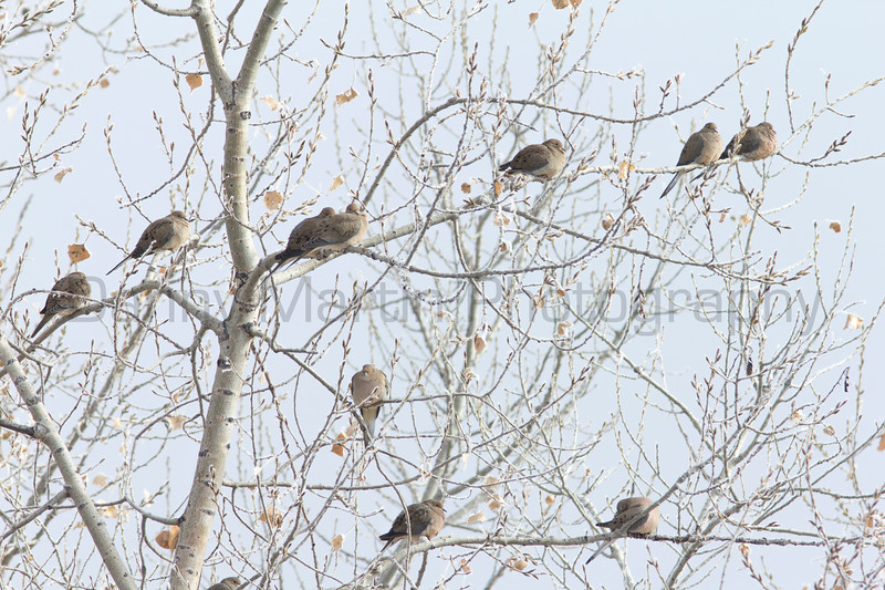 Mourning Doves keeping warm on a frosty winter morning<br /> Larimer County, Colorado
