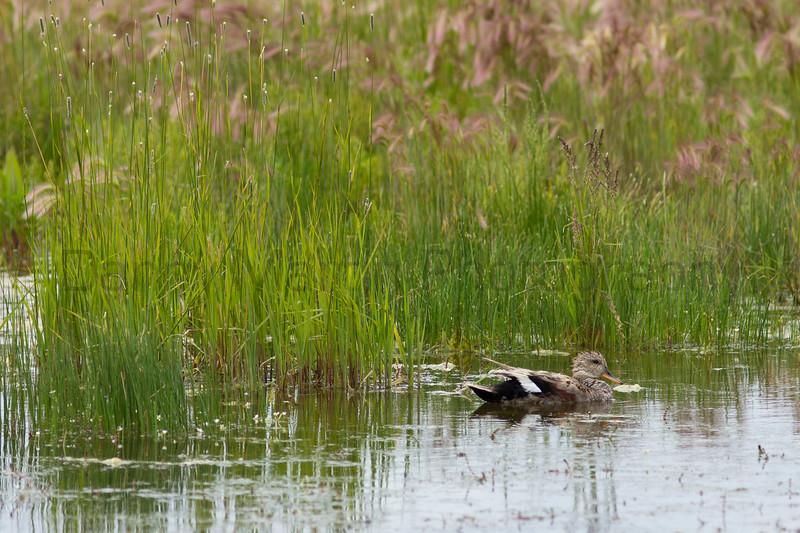 Gadwall (subadult male)<br /> Jackson County, Colorado.