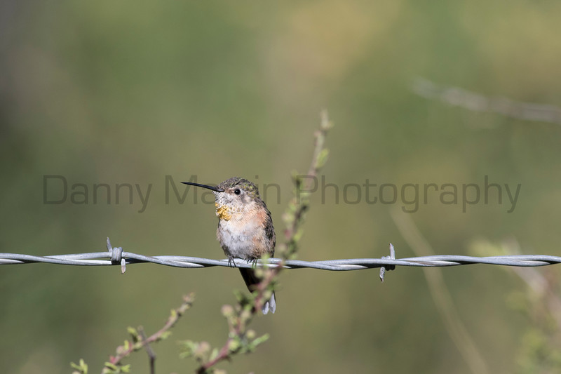 Rufous Hummingbird (female) <br /> Pima County, Arizona