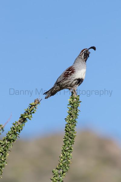 Gambel's Quail (male) calling<br /> Pima County, Arizona