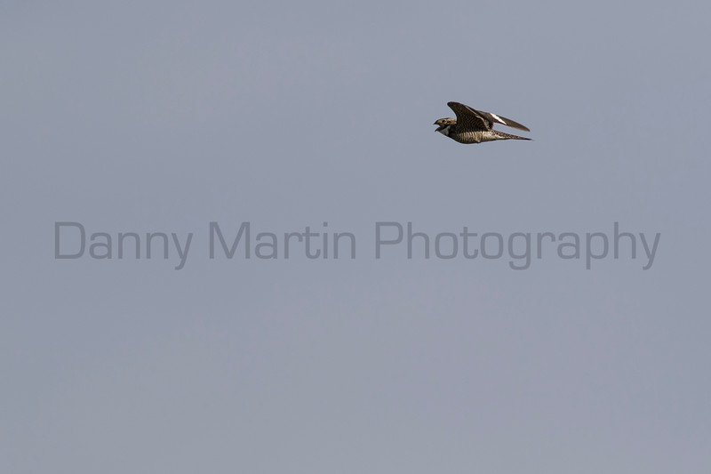 Common Nighthawk calling in flight<br /> Weld County, Colorado