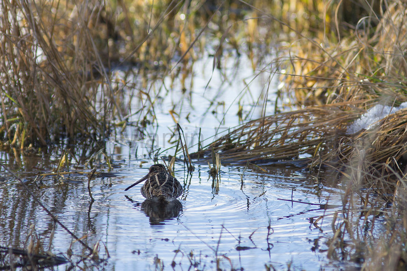 Wilson's Snipe<br /> Poudre River, Fort Collins, Colorado
