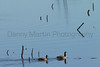 Cackling Geese<br /> Riverbend Ponds, Larimer County, Colorado